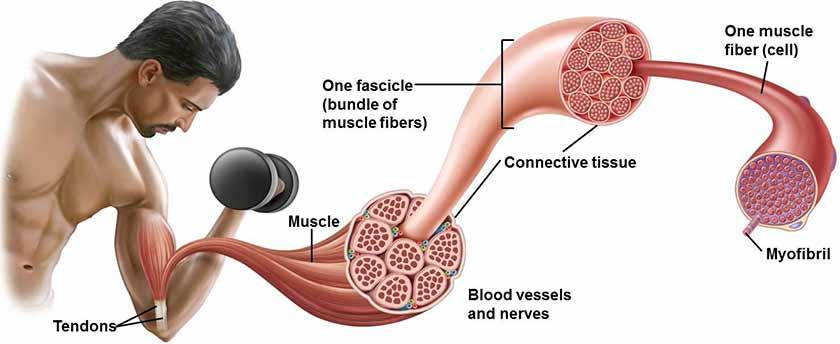 composição de uma fibra muscular